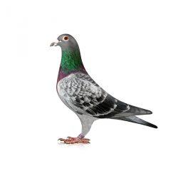 Preparaty dla gołębi